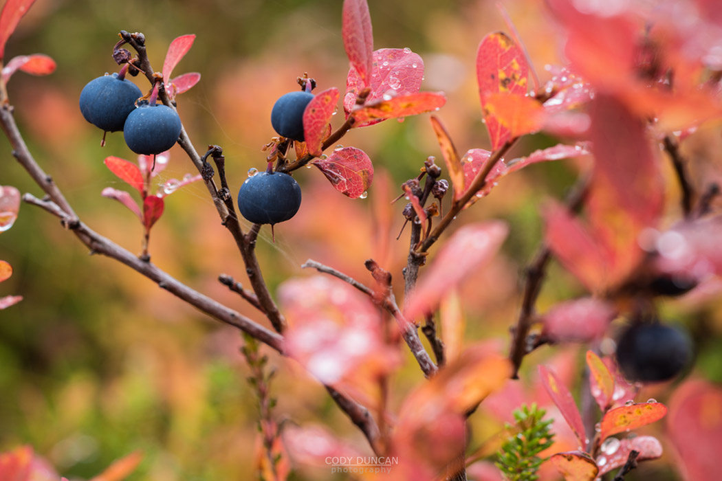 Detail of blueberry bush in Autumn, Norway