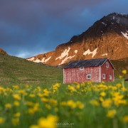 Red barn in field of wild flowers, Myrland, Flakstadøy, Lofoten Islands, Norway