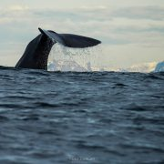 Andenes Whale Watching