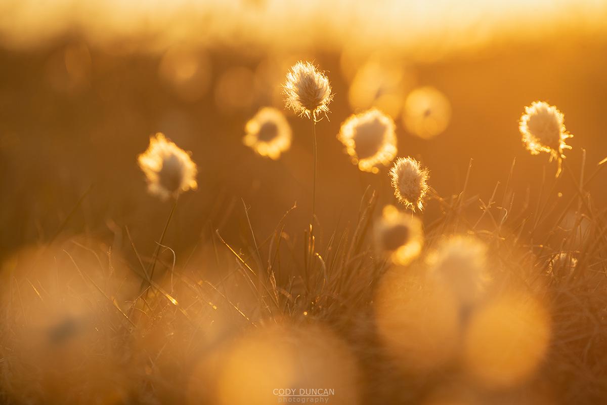 Cotton Grass - Friday Photo #283
