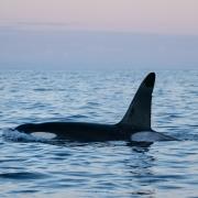 Midnight Orca - Friday Photo #392