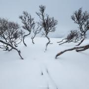 Winter BIrch Forest - Friday Photo #426
