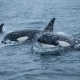 Orcas Visit Lofoten - Friday Photo #431
